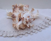 Frilly Conch Shell