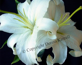 White Lilies Fine Art Photograph, Nature Photography