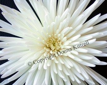 White Dahlia Fine Art Photograph, Nature Photography, Black and White