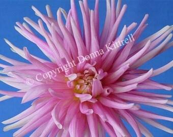 Pink Dahlia Portrait 8x10 Photograph