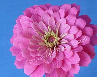 Pink Zinnia Fine Art 8x10 Photograph