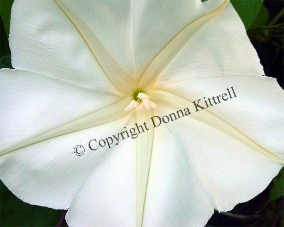 White Moonflower Fine Art Photograph, Black and White, Nature Photography