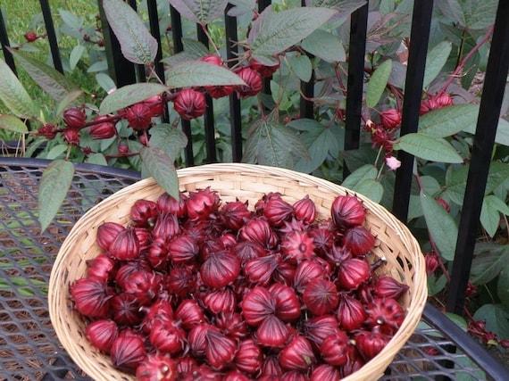 Hibiscus Sabdariffa Seeds, Organically Grown Hibiscus, Hibiscus Tea Seeds, Herbal Hibiscus Seeds