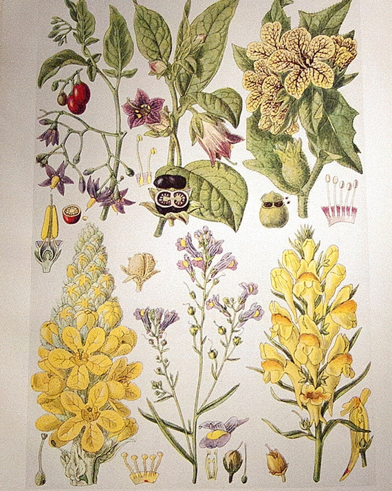 Vintage botanical illustrations by John Nugent Fitch, 1919, 3 plates, would look beautiful framed.