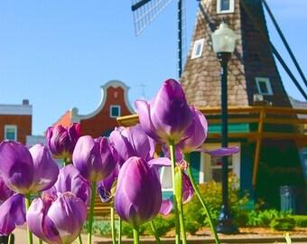 Pella Tulip Festival, 8x12 Fine Art Photograph (D9490)
