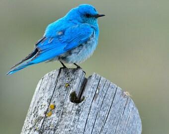 Mountain Bluebird on Fence, 8x12 Fine Art Photograph (G5349)