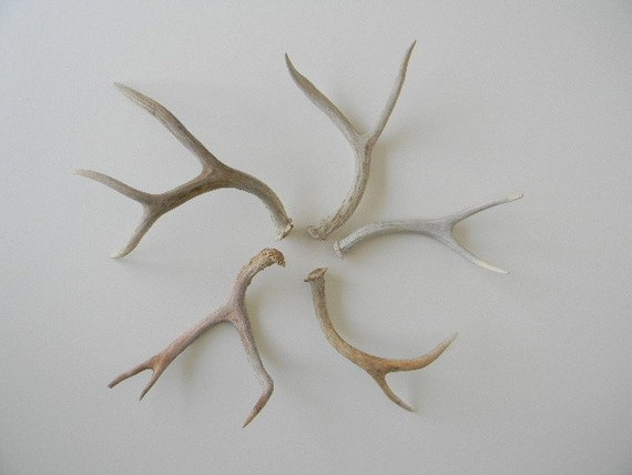 Collection of 5 Small to Medium aged and weathered antler sheds