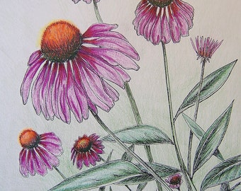 Garden CONEFLOWERS - Hand Colored Botanical Print 11 x 14
