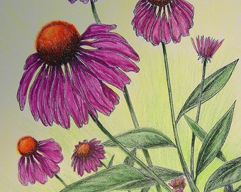 PURPLE CONEFLOWER - Hand Colored Botanical Print 11 x 14