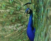 Peacock Photography Animal Photography Nature Photography Chartreuse 8x12 or 11x14