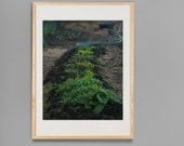 Kitchen  Art Garden Photo  Organic Garden Fine Art Photograph 16x20