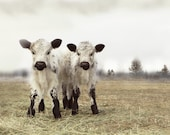 Cow Art White Twin Calves French Country Decor 20x30 Fine Art Photography