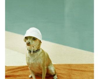 Chihuahua Photo at  Mid Century Pool