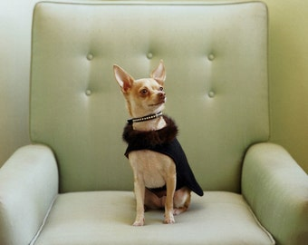 CHIHUAHUA IN A CAPE    Fine Art Photograph