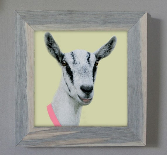 Little Nanny Goat with Pink Collar Framed Fine Art Photo