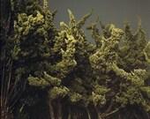 Cypress Trees, Marina Del Rey, CA. 2003, 8.5x11 Fine Art Print