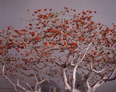 Coral Tree, Santa Monica, CA. 2004, 8.5x11 Fine Art Print