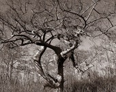 5 DOLLAR CLEARANCE SALE - Twisted and Barren Coastal Marsh Tree - 8x10 High Quality Photo Print - Monotone or Duotone