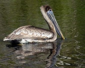 5 DOLLAR CLEARANCE SALE - Handsome Floating Brown Pelican and Reflection - 8x10 High Quality Photo Print