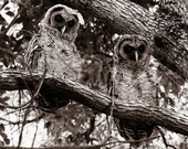 RESERVED For CHRIS MORGAN - Spooky Pair of Juvenile Barred Owls - 16x20 High Quality Photo Oversized Poster Print