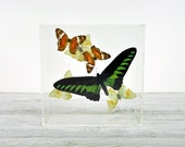 Vintage Acrylic Butterfly Display / Butterfly Shadow Box / Acrylic Butterfly Box