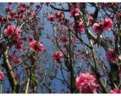 Blossoms in Japan - Photograph - 5x7 Print