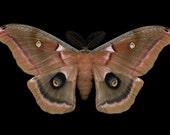 Polyphemus Moth print - Antheraea polyphemus