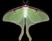 Luna Moth print - Actias luna (female)