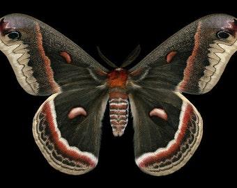Cecropia Moth print - Hyalophora cecropia