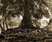 Old tree, roots, Fine Art Photography,  sepia-tone, strength, age, Cambodia, office decor, wall deco