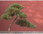 Bonsai, Forbidden City, Beijing, China