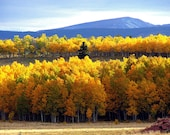 Aspen trees, aspen forest, Fall autumn wall art 8 x 10, golden leaves, foliage, October, yellow, rustic cabin, lodge photograph