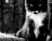 black cat photography kitten black and white  5 X 7 fine art photograph