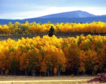 Fall  Photography  yellow gold  trees Aspens 8 x 10 fine art photograph Colorado Rocky Mountains