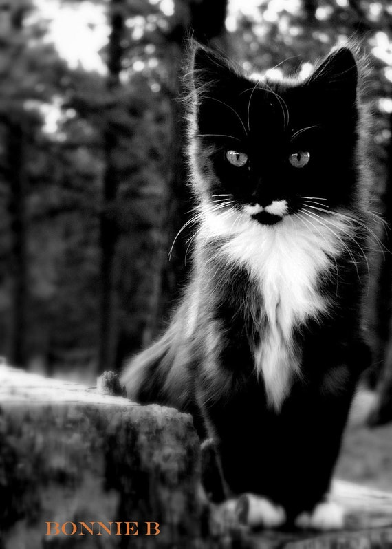 reserved for Danna Cat photography kitten black and white  5 X 7 fine art photograph