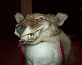 Made to order Coyote skin headdress with full skull  and feet Native american Made