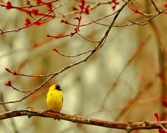 Goldfinch Print, Bird Photo, Gold, Red, Yellow Bird, Nature Photography, Spring, Bird Print, Rustic Decor