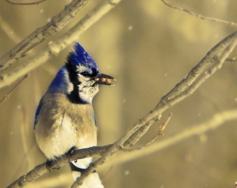Bluejay, Bird Print, Gold, Blue, Royal Blue, Nature Photography, Bird Photos, Rustic Wall Decor, Blue Jay