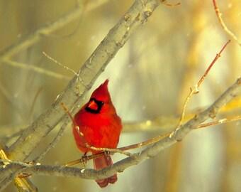Northern Cardinal, Nature Photography, Red Bird, Gold, Rustic Wall Decor, Male Cardinal, Bird Photos