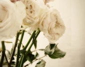 When Roses Die - pale, light, pink, cream, dreamy, pastel