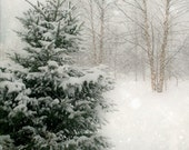Winter Pine Tree Photograph - 5x5, snow, stark, cold, christmas, woodland, forest - FirstLightPhoto