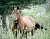 Horse Photograph - brown, bay, pasture, country, farm, green grass, barn, 8x10