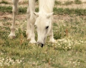 Horse Photograph - white grazing country rustic green grass field 8x10