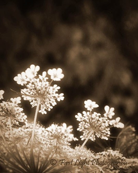 Queen Annes Lace Photograph  - wild flower white country delicate sepia black and white cottage chic simple