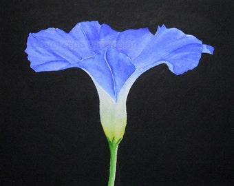 morning glory watercolor painting archival print