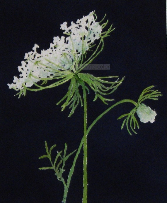 Queen Anne S Lace Watercolor Archival Print