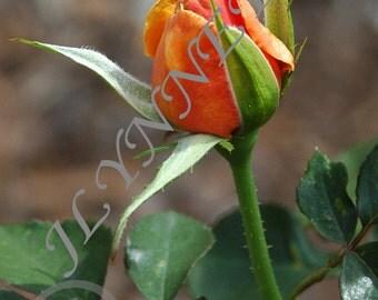 Orange Rose Bud Magnet
