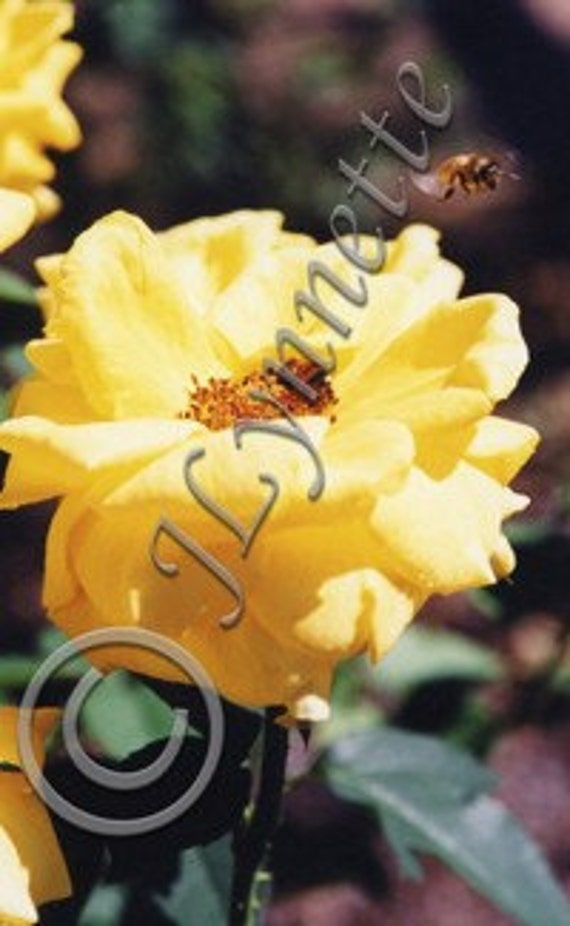 Bees on Yellow Rose Photo Magnet