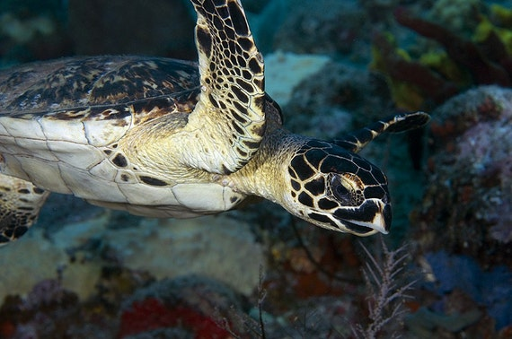 Sea Turtle Art Photo Underwater Photography Nautical Home Decor