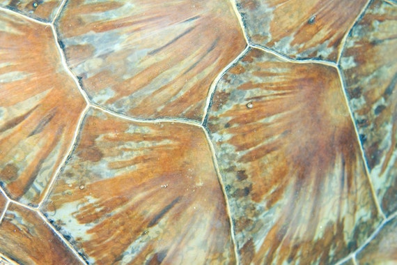 Sea Turtle Decor Abstract Photograph of Sea Turtle Shell